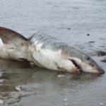AnimalCruel_Shark